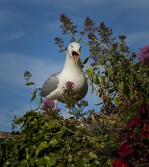 South Wales Gull - A handsome fellow perhaps not as polite as he may have been when asking for some of my pub lunch  x  OC