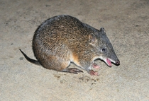 Southern Brown Bandicoot Isoodon obesulus happy to see me