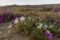 Southern Californias deserts are in full bloom this year due to large amount of rain