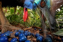 Southern Cassowary feeding on the fruit of the Blue Quandang tree in Black Mountain Road taken on Nov