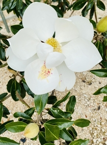 Southern Magnolia Magnolia grandiflora are in bloom in Mobile and its GLORIOUS