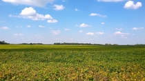 Soy field near Beaman Missouri