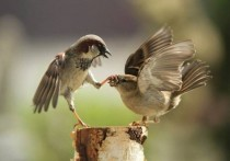 Sparrows in the middle of the debate