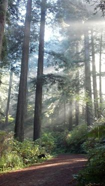 Speaking Of Redwoods We Walk In Them Almost Every Day  - Arcata Community Forest Humboldt CA