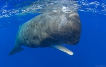 Sperm whale Physeter macrocephalus near the Ogasawara Islands Japan  x-post rWhales