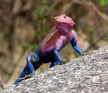 Spiderman Agama lizard agama mwanzae called so because of its unique coloration