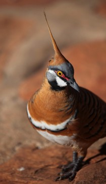 Spinifex Pigeon Geophaps plumifera Northern Territory Australia