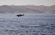 Spinner dolphin Stenella longirostris off the coast of Oman