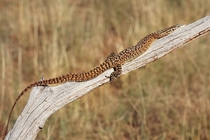 Spiny Tailed Monitor Lizard Varanus acanthurus by Benjamint