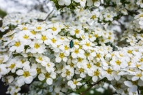 Spiraea arguta in full bloom