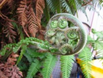 Spirals within spirals unfurling tree fern leaf