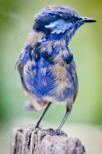 Splendid Fairywren  x -post from rpics