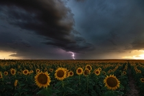Splendid Summer Severe Storm at Sunset with Sunflowers - Denver CO