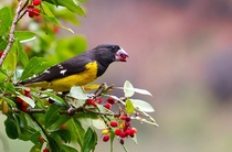 Spot-winged Grosbeak enjoying some berries in the western Himalayas of India