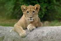 Spotted by a Lion Cub