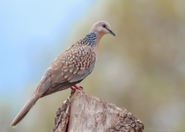 Spotted Dove Streptopelia chinensis - Sattal Uttarakhand India