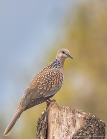 Spotted Doves Spilopelia chinensis