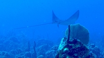 Spotted Eagle Ray at Coconut Tree Reef near Saint Kitts