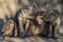 Spotted hyena Crocuta crocuta also known as the laughing hyena