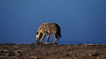 Spotted Hyena Crocuta crocuta drinking from water hole - Namibia