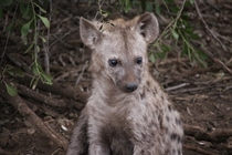 Spotted Hyena Cub - Kruger Park South Africa