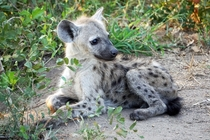 Spotted hyena cubs can be cute too