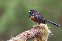 Spotted Towhee - Victoria BC Pipilo maculatus