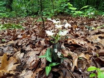 Spotted wintergreen   an east coast American native flowering now in the south Its endangered in some of the north