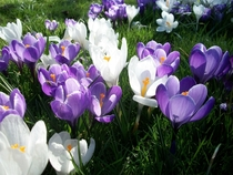 Spring Crocuses Ireland April