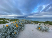Spring flowers starting to bloom in Bloubergstrand Cape Town South Africa
