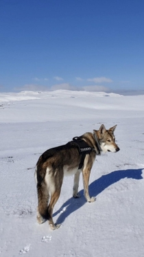 Spring is arriving alone with this big wolfdog and not a human in sight in the Norwegian mountains just how we like it