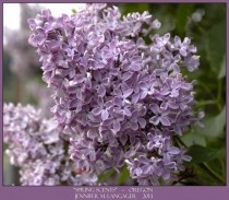 Spring Scents Lilac