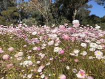 Spring wildflowers Kings Park Western Australia  no filter or colour adjustment