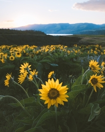 Springtime in the Columbia River Gorge Balsamroot aka Oregon Sunflowers bloom everywhere down here this time of year