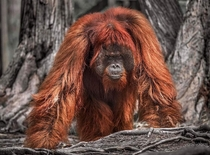 Square up An big male orangutan in the jungles of Borneo