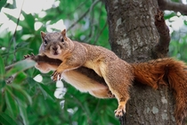 Squirrel in repose Tamiasciurus hudsonicus -