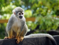 Squirrel Monkey Saimiri sciureus