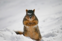 Squirrel scouring the snow for food