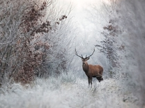 Stag in the frost photo by Nicolas Le Boulanger