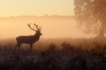 Stag in the Sunrise by Harry Tsappas