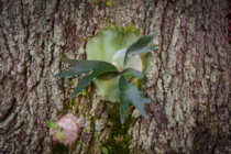 Staghorn Fern Platycerium bifurcatum on a Live Oak
