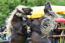 Stallions fight for leadership of the herd in Aschau in the Austrian province of Tyrol