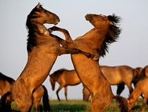 Stallions fighting in South Dakota By Melissa Farlow
