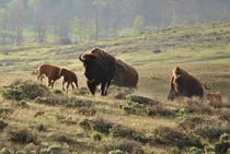 Stampeding bison Yellowstone NP