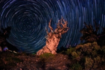 Star Trails Over An Ancient Bristlecone Pine Tree