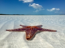 Starfish on a sandbar in Exuma Bahamas