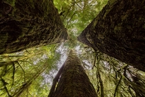 Staring up the center of the Three Sisters -  sitka spruce that are some of the tallest trees in Canada Taken in Carmanah Walbran Provincial Park Vancouver Island BC