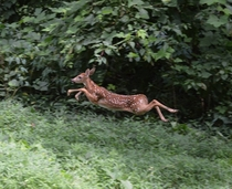 Startled some deer in my backyard and got this pic of one in mid-leap Cherokee National Forest Tennessee