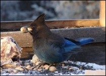 Stellars Jay Cyanocitta Stelleri eating peanuts from my bird feeder in Alaska  x