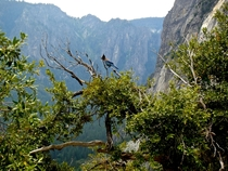 Stellers Jay Cyanocitta stelleri over Yosemite Valley